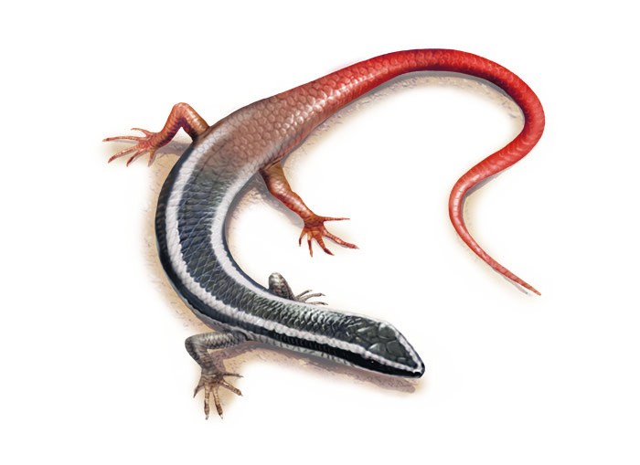 Lined fire-tailed skink