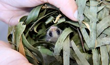feather glider joeys
