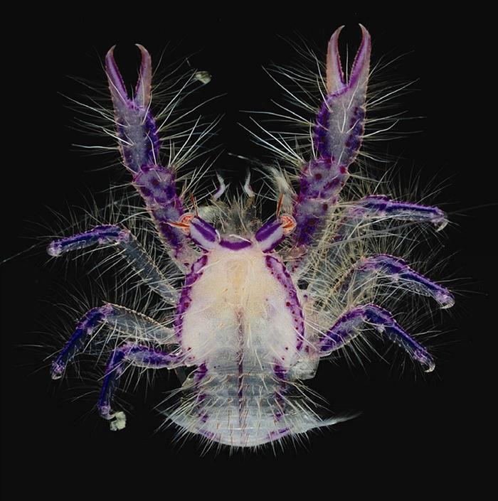 fairy crab