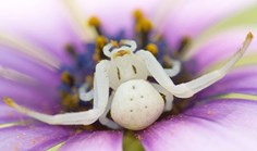 female spectacular crab spider