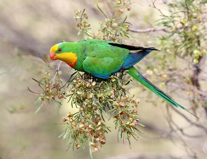 superb parrot