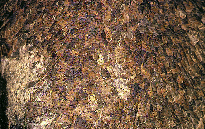 The Great Bogong Moth Migration Australian Geographic