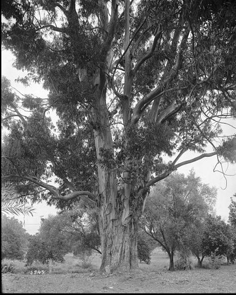 California eucalypt