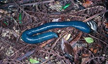 North Queensland's big blue earthworms
