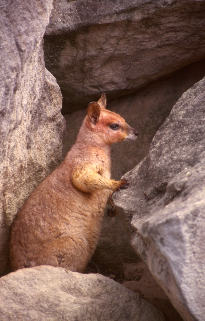 purple necked rock wallaby