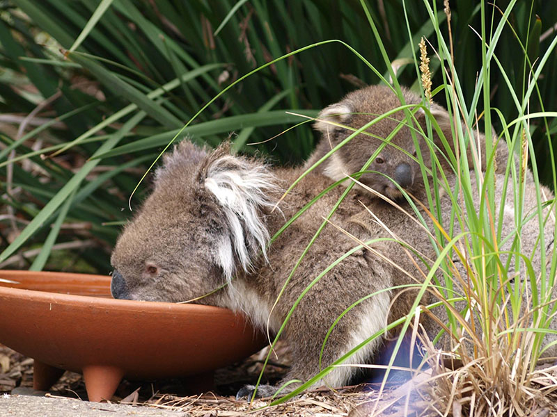 koala bird baths
