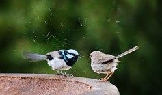 Superb fairywren