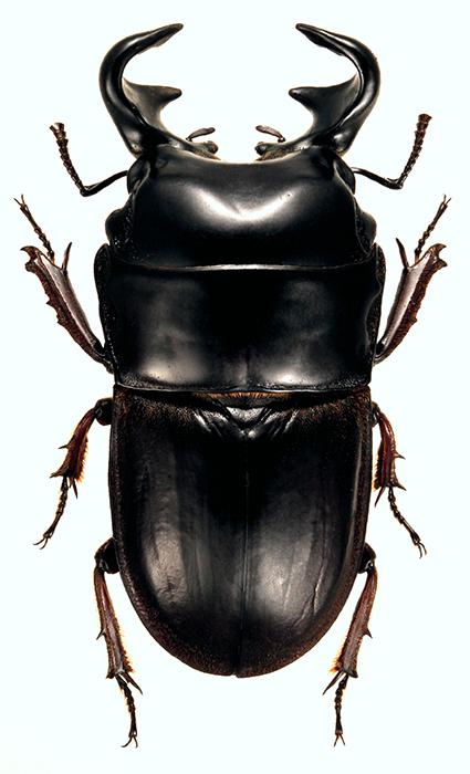 Lissapterus obesus