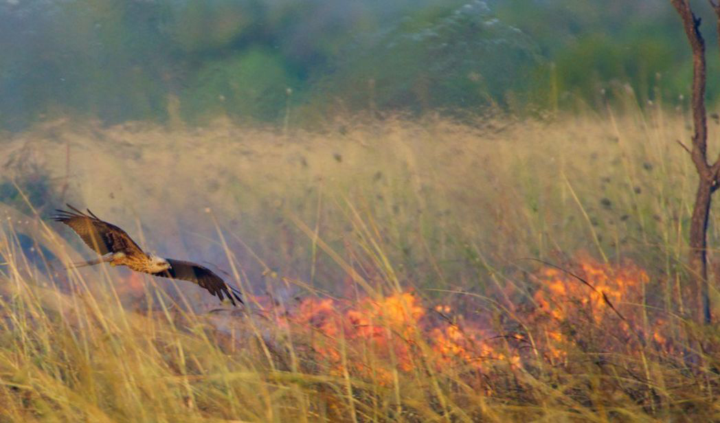 This is why Aussie 'firehawk' raptors are spreading bushfires