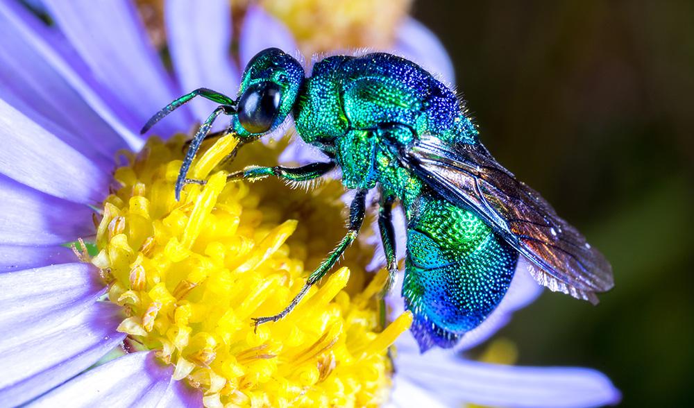 the beautiful cuckoo wasp is a parasitic killer