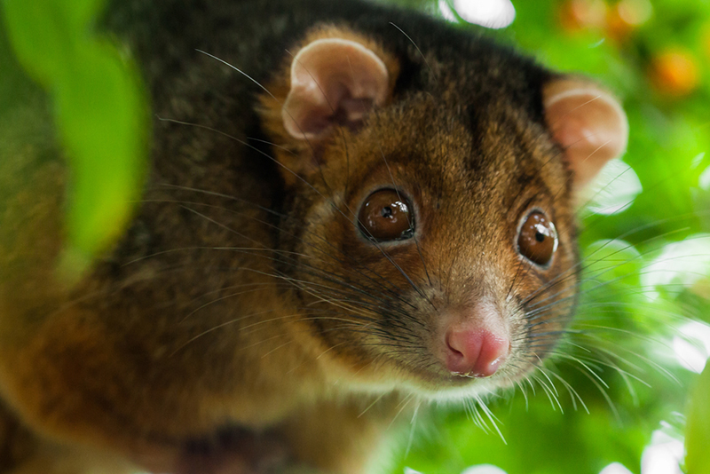 Possums Were Also Valued For Their Fur, Sinew And Spun Fibre. Once  Europeans Arrived, However, The Scale Of Aboriginal Subsistence Hunting Was  Quickly ...