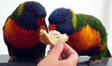 Lorikeets eating bread