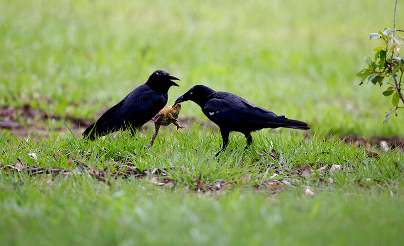 crows eating toads