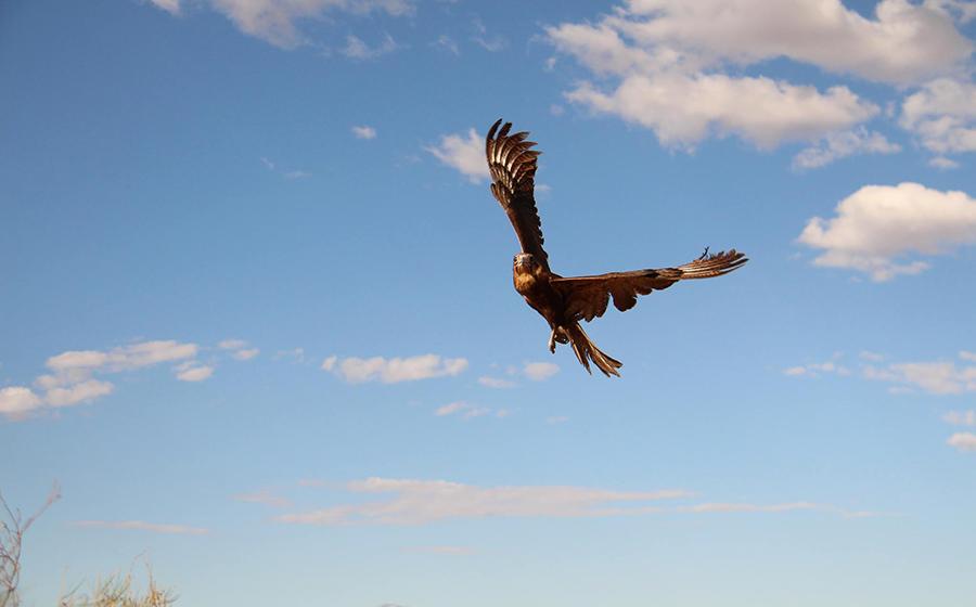 Pilbara raptors