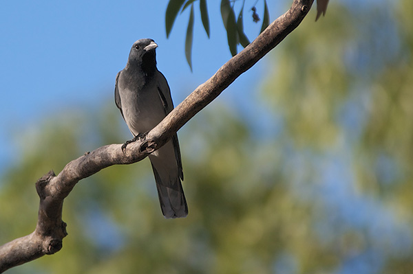 Black-faced cuckoo shrike