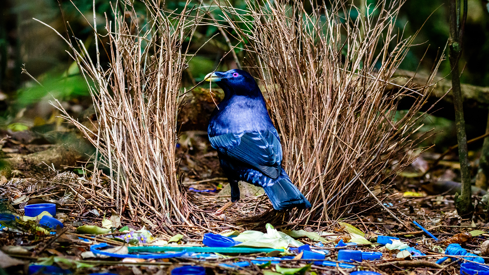 Advice from the most romantic australian animals australian a satin bowerbird image credit luke shelley sciox Gallery