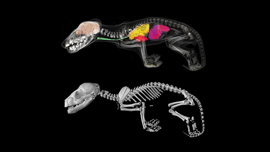 thylacine puch development