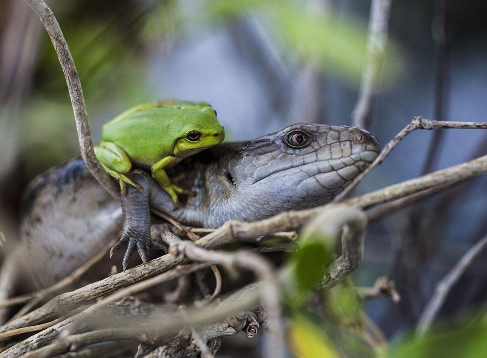 lizard floods