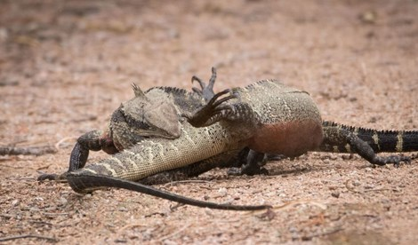 water dragons fighting