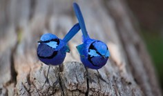 splendid fairy-wrens