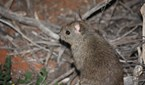 stick nest rat