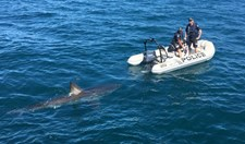 great white shark south australian police