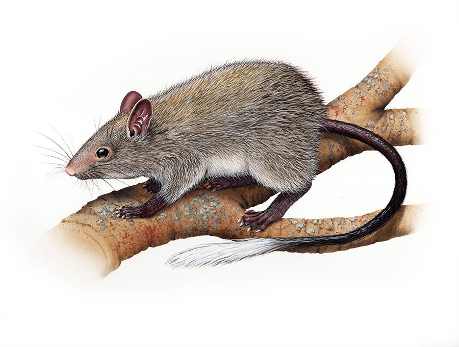 black footed tree rat