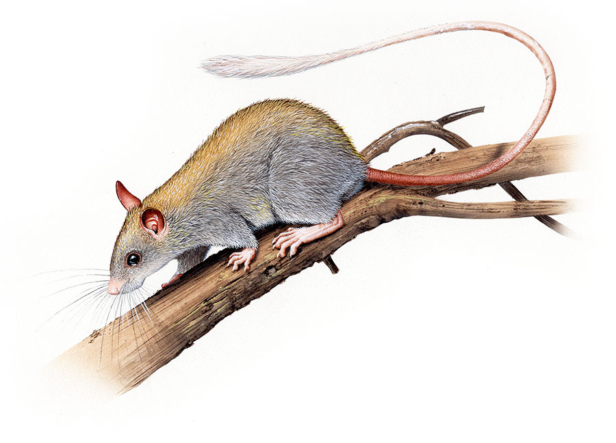 golden backed tree rat