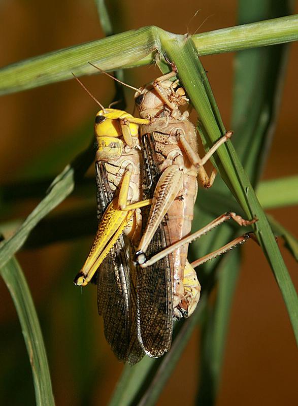 plague locusts
