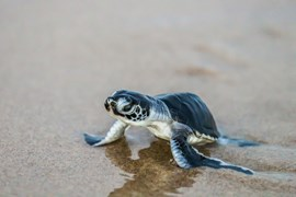 green sea turtle hatching