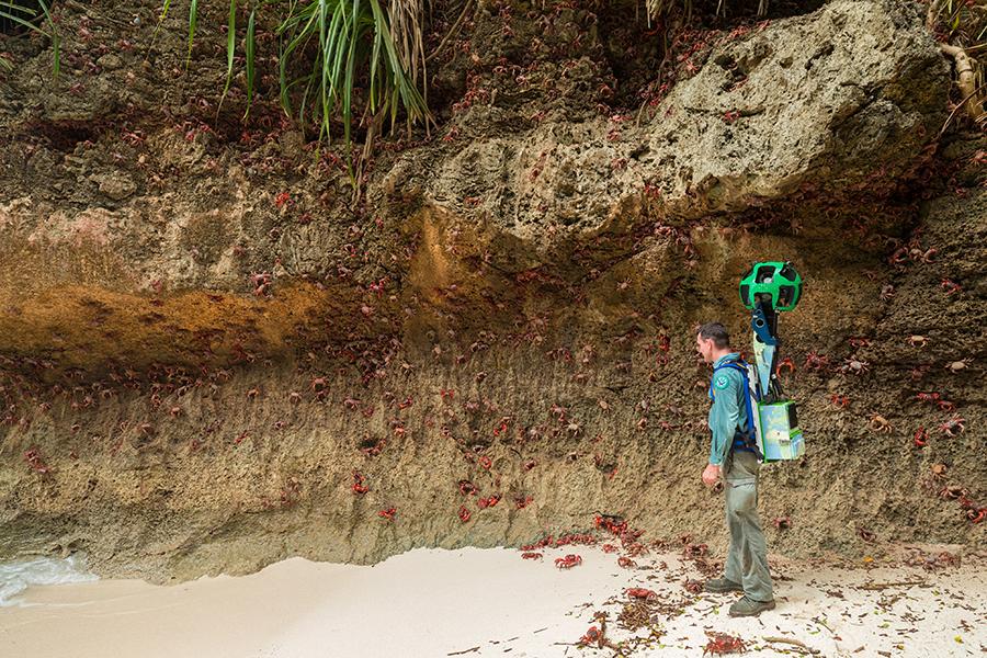 Christmas Island red crab spawning