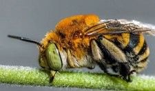 teddy bear bee new species