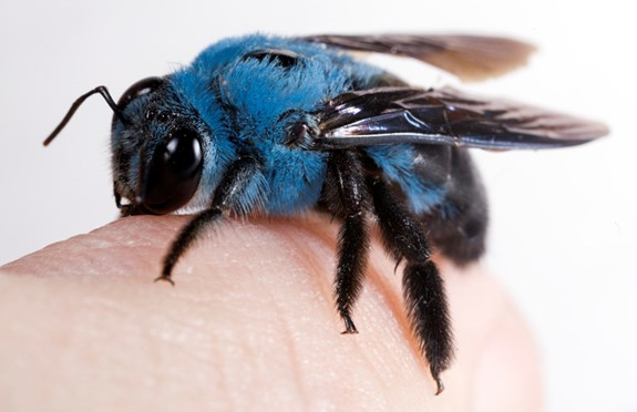 blue carpenter bee