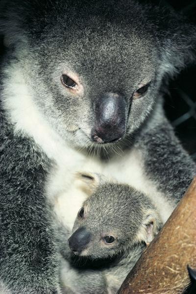 John Oliver Koala Chlamydia Ward at Australia Zoo