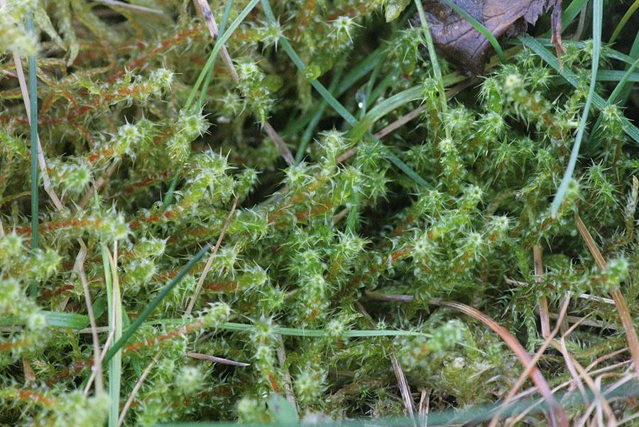 springy turf-moss