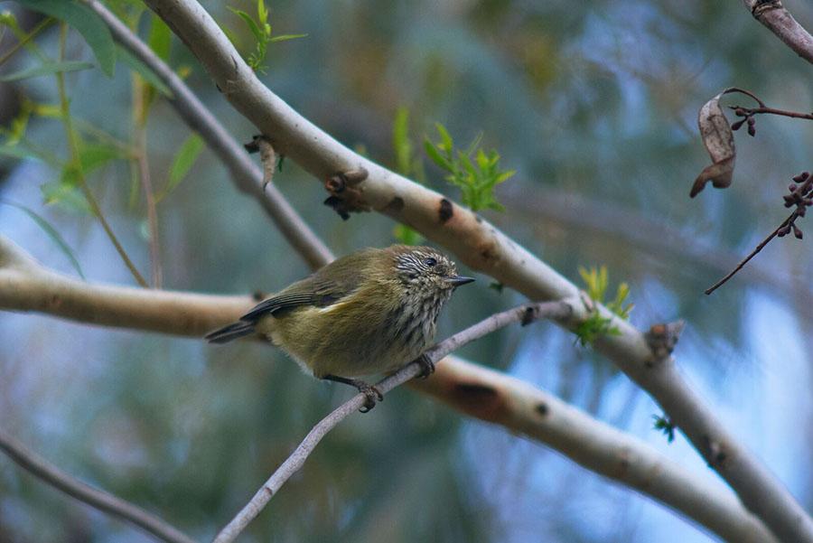 Australian National University birds