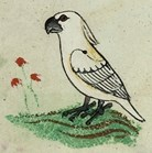 Cockatoo illustration identified in 13th Century Vatican manuscript