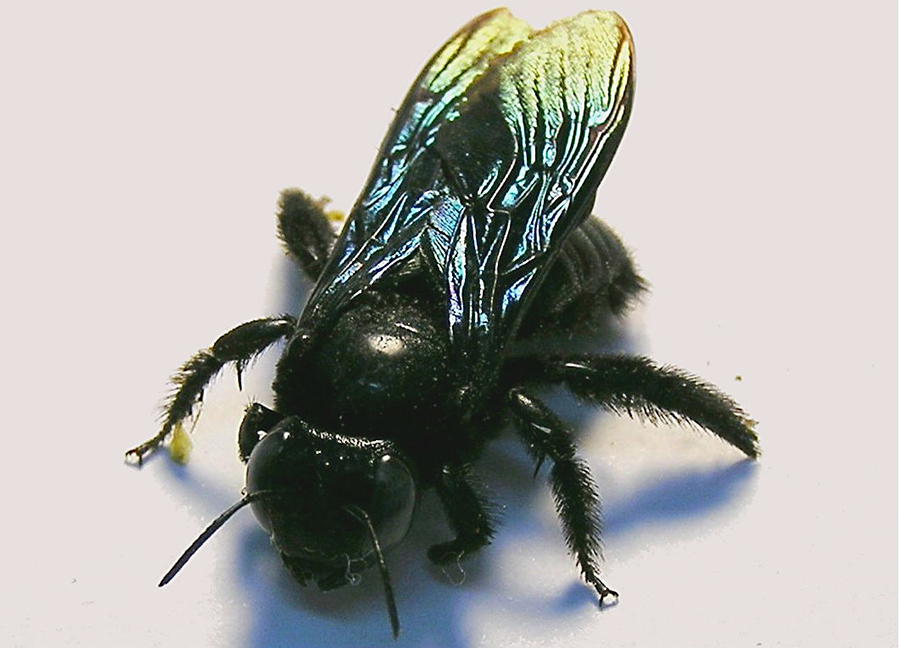 tropical carpenter bee