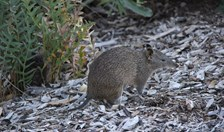 southern brown bandicoot quenda