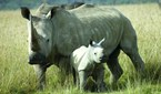 rhinos introduced to Australia