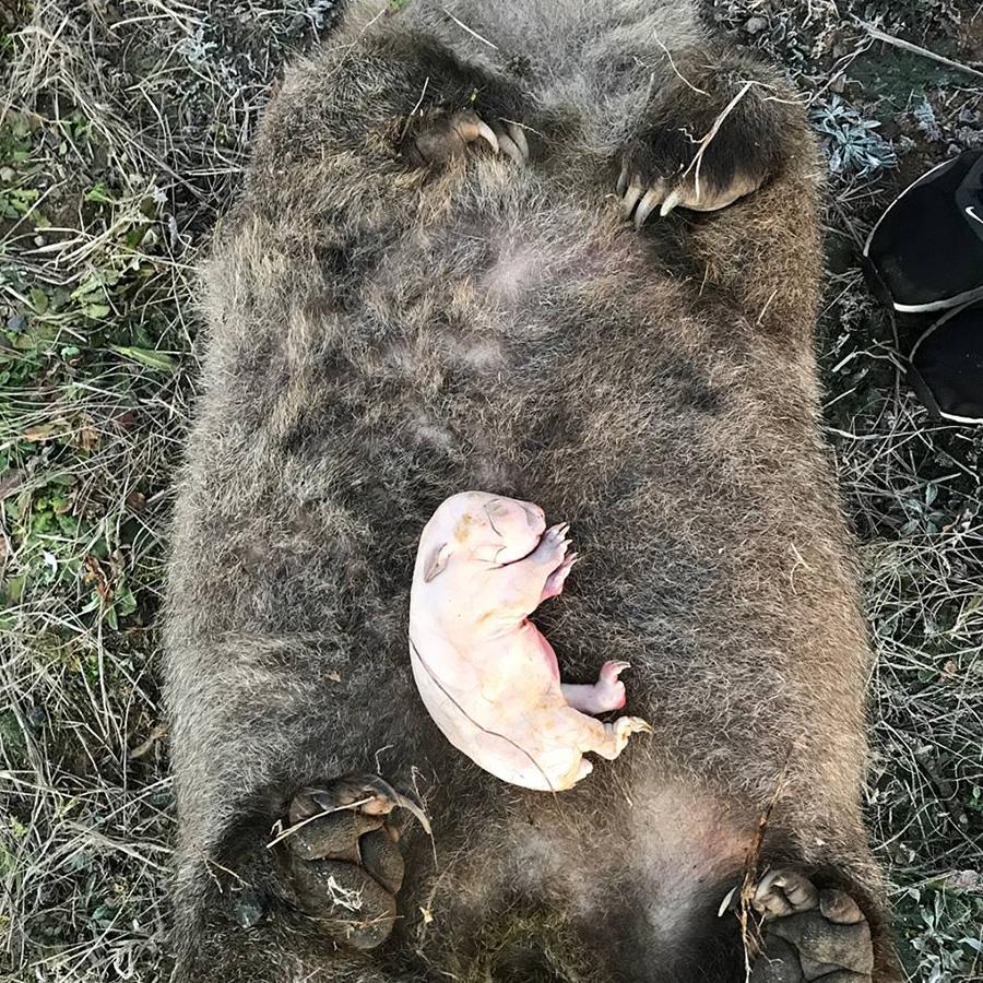 wombat road kill
