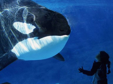 Sea World is reportedly ending its killer whale shows