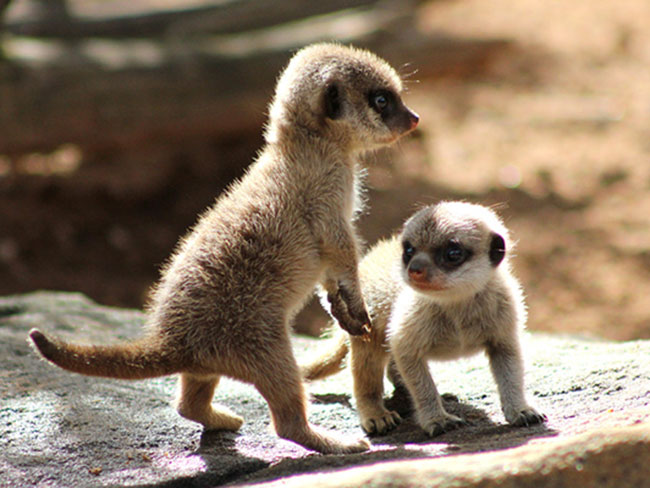 Take a look at the ADORABLE meerkat pups that were born at Taronga Zoo