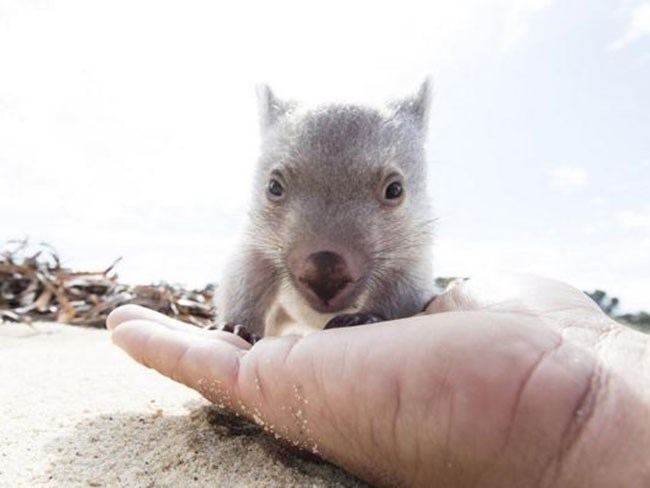 You can now become a professional wombat cuddler and OH GOD WHERE DO WE SIGN UP?!