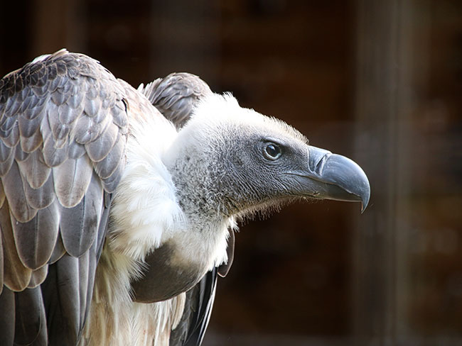 A pair of gay vultures adopt baby vulture egg abandoned by its mother