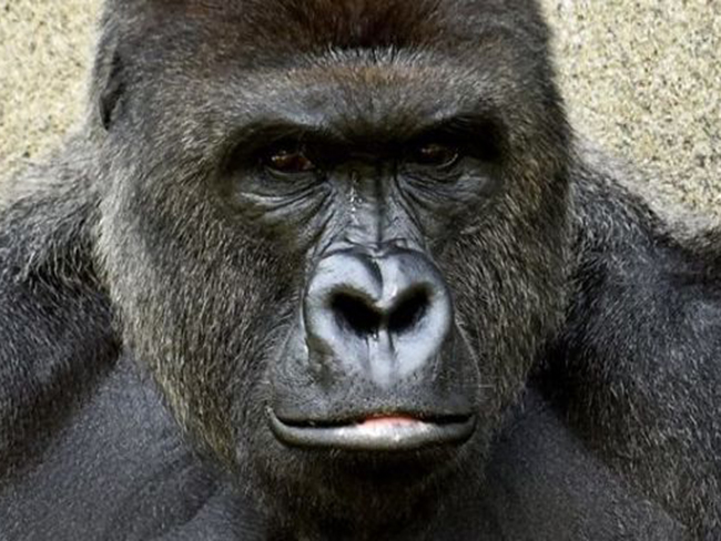 People are outraged over the murder of Harambe after a child fell into his enclosure