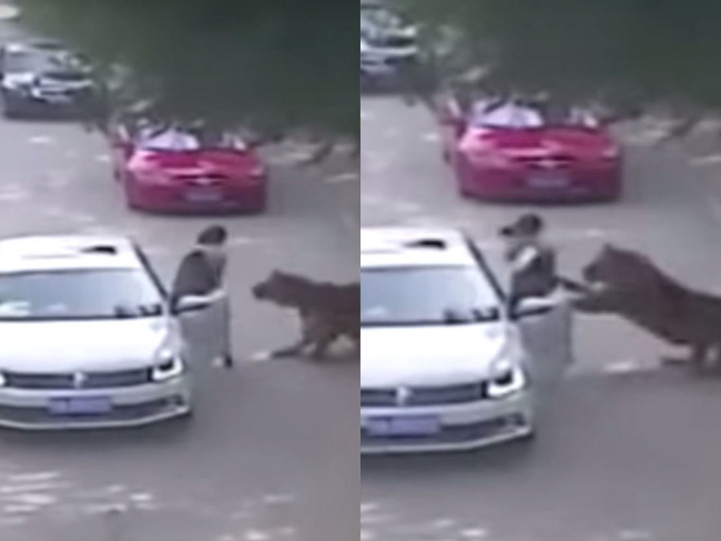 Caught on camera: Woman killed by tiger after getting out of car in wildlife park