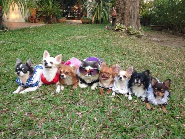 This cat and his crew of Chihuahuas will warm your very soul