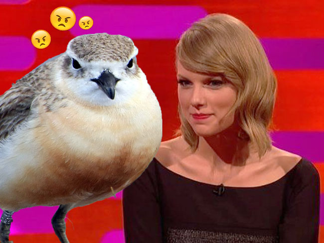New Zealand's native dotterels aren't happy with Taylor Swift