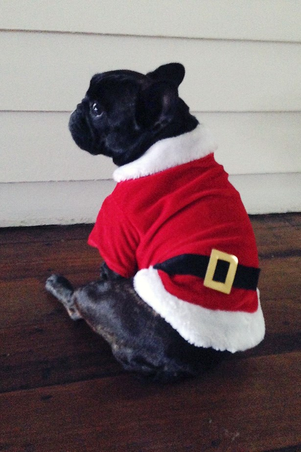 Dog in Santa outfit